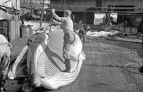 Подготовка кита к освежеванию