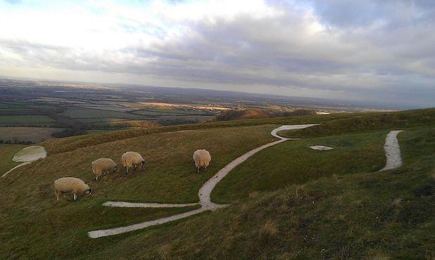 Овцы пасутся вокруг головы лошади
