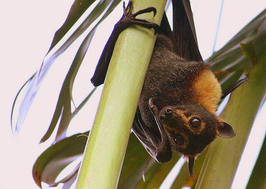 Плодоядная летучая мышь