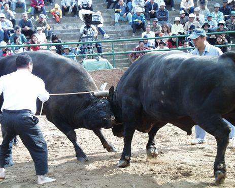 Босой дрессировщик руководит действиями своего быка