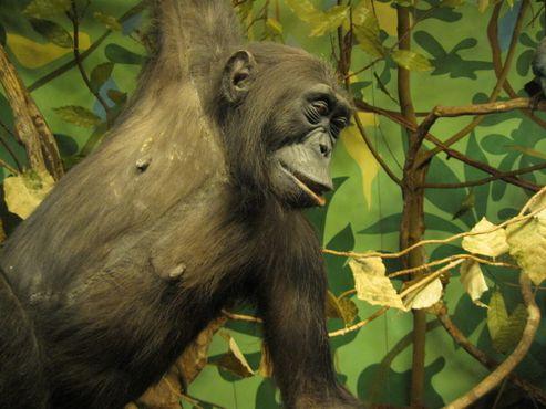 Чучело обыкновенного шимпанзе