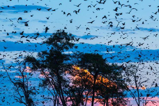 Миграция летучих мышей в Национальном парке Касанка