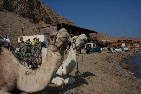 Парковка верблюдов