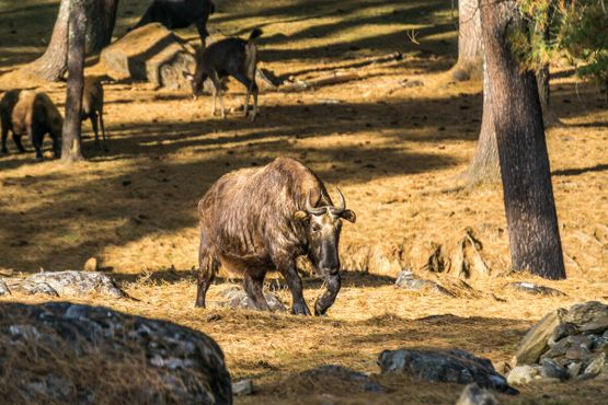 Национальное животное Бутана такин в заповеднике Ройал Такин
