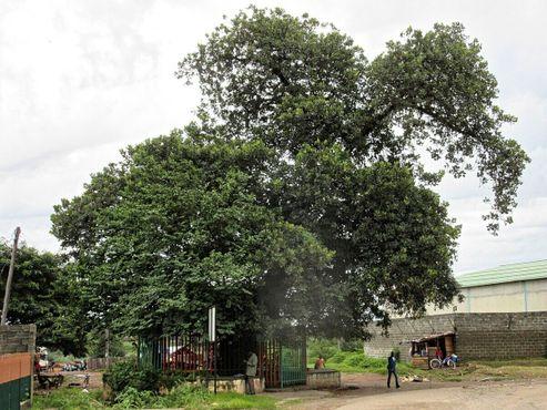 Дерево рабов в Ндоле