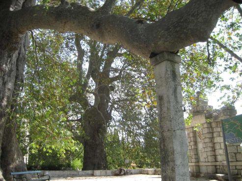 Восточный платан (чинара) в Трстено