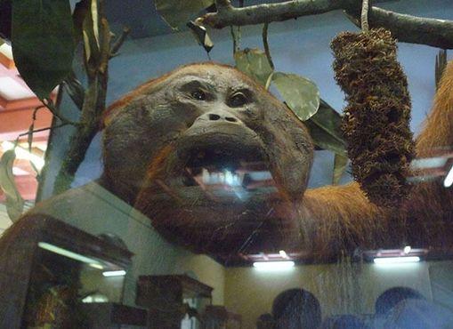 Таксидермированный орангутанг, один из двух экспонатов музея Саравака со времен Брука