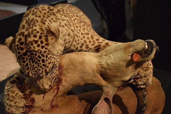 Таксидермическая диорама, изображающая африканского лесного леопарда, убивающего газель